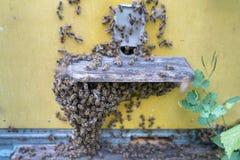 Abejas de la miel delante del enterence de la colmena Imagen de archivo