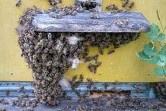 Abejas de la miel delante del enterence de la colmena Foto de archivo