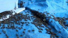 Abejas de la miel delante de la entrada de la colmena almacen de metraje de vídeo