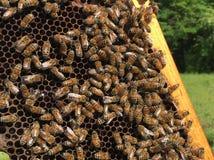Abejas de la miel difícilmente en el trabajo Fotografía de archivo