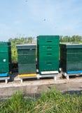 Abejas de la miel el pulular en primavera Foto de archivo
