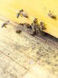 Abejas de la miel en colmena amarilla Fotografía de archivo