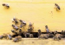 Abejas de la miel en colmena amarilla Fotos de archivo libres de regalías