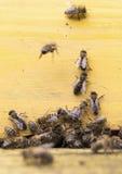 Abejas de la miel en colmena amarilla Imagen de archivo