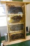 Abejas de la miel en colmena en panal Imagen de archivo