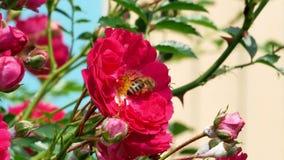 Abejas de la miel en el arbusto color de rosa 4k almacen de metraje de vídeo