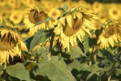 Abejas de la miel en el campo de girasoles Imagen de archivo
