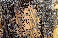 Abejas de la miel en el colmenar casero Foto de archivo libre de regalías