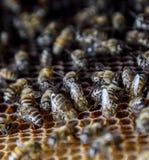 Abejas de la miel en el colmenar casero Foto de archivo