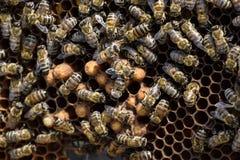 Abejas de la miel en el colmenar casero Imagen de archivo
