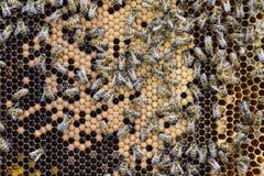 Abejas de la miel en el colmenar casero Imagenes de archivo