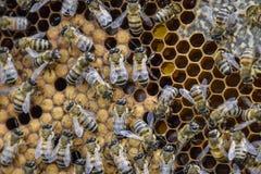 Abejas de la miel en el colmenar casero Fotografía de archivo libre de regalías