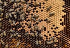 Abejas de la miel en el colmenar casero Fotografía de archivo