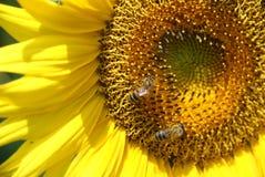 Abejas de la miel en el girasol Imágenes de archivo libres de regalías