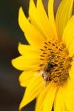 Abejas de la miel en el girasol Foto de archivo