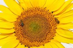 Abejas de la miel en el girasol Imagen de archivo libre de regalías