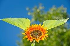 Abejas de la miel en el girasol anaranjado Foto de archivo