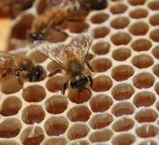 Abejas de la miel en el panal Foto de archivo libre de regalías