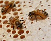 Abejas de la miel en el panal Imagen de archivo