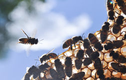 Abejas de la miel en el panal Foto de archivo
