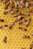 Abejas de la miel en el panal Imagenes de archivo