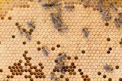 Abejas de la miel en el peine de la cría Imágenes de archivo libres de regalías