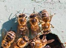 Abejas de la miel en la entrada a la colmena Imágenes de archivo libres de regalías