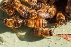 Abejas de la miel en la entrada a la colmena Fotos de archivo libres de regalías