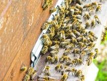 Abejas de la miel en la entrada a su colmena Fotografía de archivo
