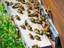 Abejas de la miel en la entrada a su colmena Fotos de archivo