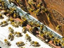 Abejas de la miel en la entrada a su colmena Imagenes de archivo