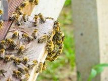 Abejas de la miel en la entrada a su colmena Fotografía de archivo libre de regalías