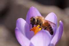 Abejas de la miel en la flor Foto de archivo
