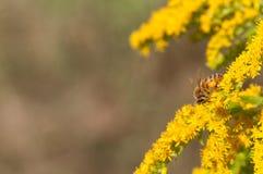 Abejas de la miel en la flor amarilla oscura Fotos de archivo libres de regalías