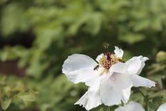 Abejas de la miel en la peonía blanca Imagenes de archivo