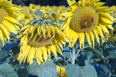 Abejas de la miel en las floraciones del girasol Fotos de archivo