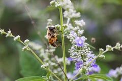 Abejas de la miel en las flores Imágenes de archivo libres de regalías