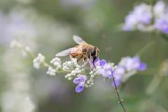 Abejas de la miel en las flores Fotos de archivo libres de regalías