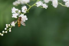 Abejas de la miel en las flores Foto de archivo