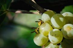 Abejas de la miel en las uvas Imagenes de archivo