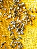 Abejas de la miel en los panales Foto de archivo libre de regalías
