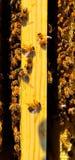 Abejas de la miel en marcos Imagen de archivo