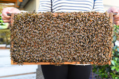 Abejas de la miel en marcos de madera Foto de archivo