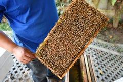 Abejas de la miel en marcos de madera Fotografía de archivo libre de regalías