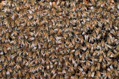 Abejas de la miel en marcos de madera Imagen de archivo libre de regalías