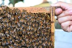 Abejas de la miel en marcos de madera Imagenes de archivo