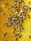 Abejas de la miel en panales Imagenes de archivo
