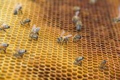 Abejas de la miel en un panal dentro de la colmena Estructura hexagonal de la cera con el fondo de la falta de definición Imágenes de archivo libres de regalías