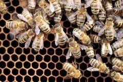 Abejas de la miel en una cera de abejas oscura Fotos de archivo libres de regalías