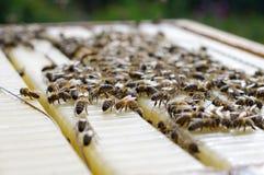 Abejas de la miel en una colmena Imagen de archivo